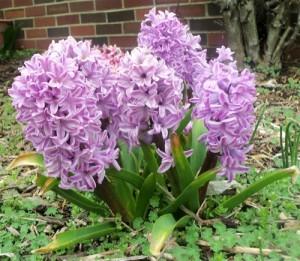 Hyacinth2014_1985