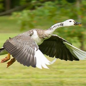 White Goose Alcyon Lake _JeffMaz_300x300