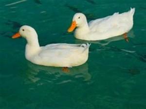 ducks-15026__180_400x300