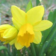 Daffodils Fight Cancer! (4/14/19)